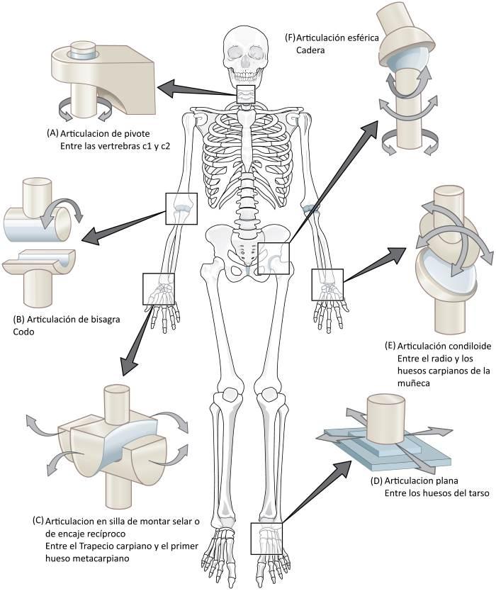 Los seis tipos de articulaciones sinoviales
